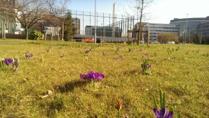 Spring @Aston, Footie Pitch, Beautiful Flowers